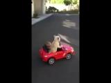Собака - водитель