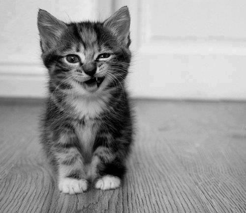 Фото кошки на аву стим - 8fcd