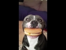 Dog holding a cheese burger in his mouth