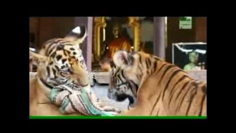 Храм Тигров...Любовь - это ВСЕ!