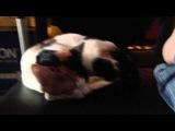 the speaking cat! when I cough, my cat worries. Boosinka.
