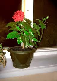 чернаямагия - Магия растений. Магические свойства растений. Обряды и ритуалы. Амулеты и талисманы из растений.  5hYnWGOR-us