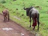 Две гиены напали на беременную антилопу гну