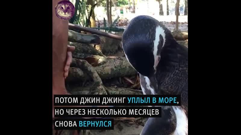 Дpyжecтвeнный пингвин