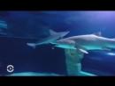 Акула съела своего сородича