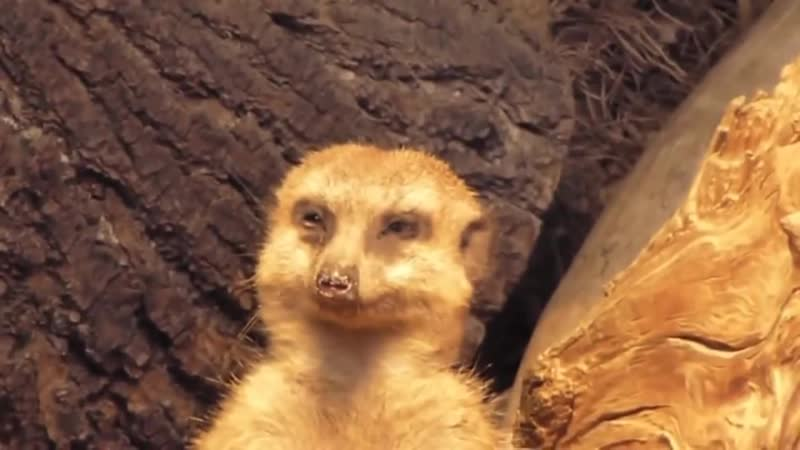 Math Meerkat meerkat scince education math