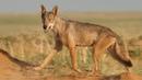 Волки в Калмыкии Заповедник Чёрные земли