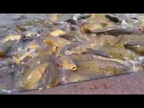 Kıyıya vuran sazan balıkları