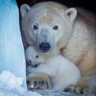 Новосибирский зоопарк объявил конкурс «Лучшее имя белой медведице»