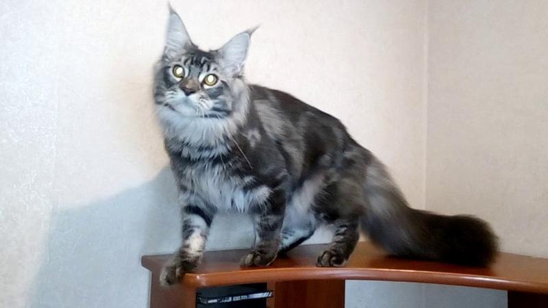 Кот Мейн Кун Кайрос, 7 месяцев.
