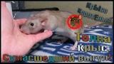 (Р) Толпа крыс на диване. Сумасшедший выгул после работы! Наши реалии. ( Fancy Rats Wild Rats)