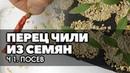 🌶🌱Перец чили Выращивание из семян Ч 1 Сею в кассету