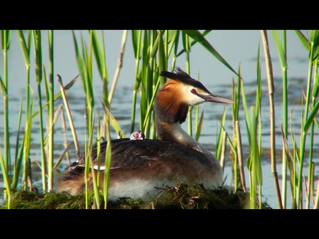 Последнее лето московской чомги The final summer of the Moscow's Great Crested Grebe eng subs