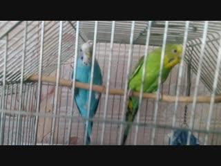 Разборки попугаев. Моя озвучка