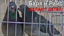 Голуби Райс и Баря ДЕЛАЮТ ДЕТЕЙ