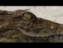 Документальный фильм. Дикий мир животных. Африка. Крокодилы