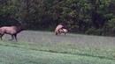 Elk Rut Cherokee N.C. October 2017 Part C