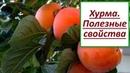 Польза хурмы. Осенний фрукт хурма, чем она богата и полезна?