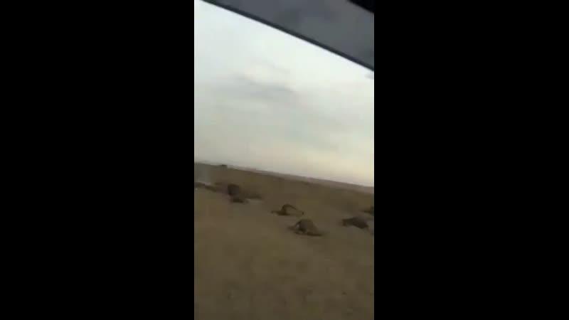 В забайкальских степях сейчас ад. Скот не успели эвакуировать: сотни коров, овец и домашних свиней сгорели заживо.