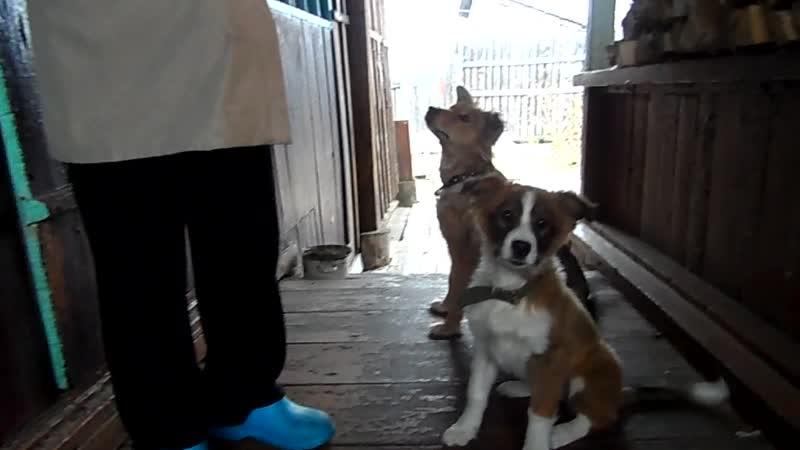Отдам собаку девочку в Боготоле. Тел: 89235749937 Тамара.