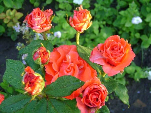 что за красота эти розы!