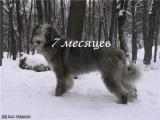 перецвет шерсти южнорусской овчарки