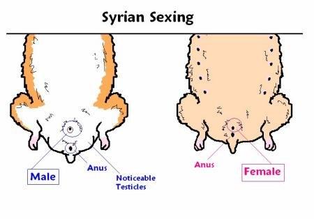 Сколько у джунгарских хомяков длится беременность