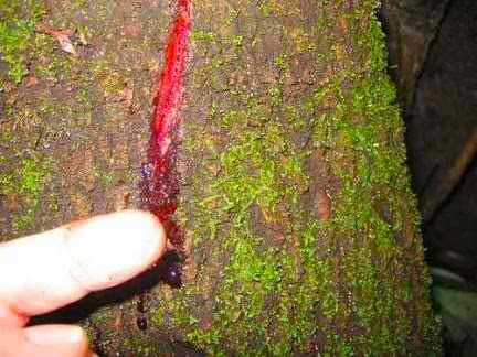 Сангре де Градо происходит от темно-красного вязкого сока (латекса) Croton lechleri, дерева, встречающегося во многих регионах Южной Америки.