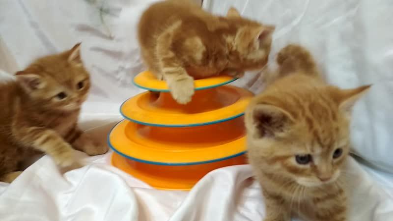 Красный мрамор котик и кошечка.Тигруша уже в новом доме.