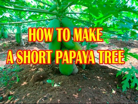 8 Video cara membuat pohon pepaya menjadi pendek