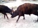 бычий махач