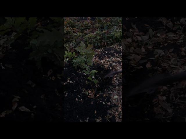 Www.voodland.com - саженцы красного дуба