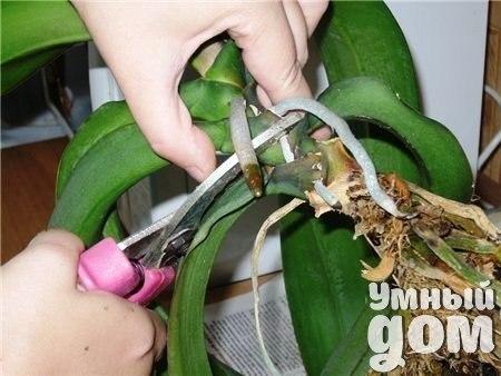 Стимуляция почек – деление взрослого фаленопсиса Смысл этого способа размножения орхидеи в пробуждении пазушных почек, которые находятся между стеблем и основанием листьев. Этот способ применяют только к здоровым крупным экземплярам с большим количеством воздушных корней и листьев (не меньше 7-8). Самым подходящим временем для деления является время, когда у орхидеи начинается рост новых побегов. Острым секатором или хорошо заточенными ножницами обрезают верхушку. Место среза обрабатывают…
