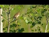 P6120152 камышевка-барсучок. Машины перебивают песню птахи