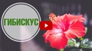 Гибискус ➡ Особенности ухода и выращивания ☑️ Советы от HitsadTV
