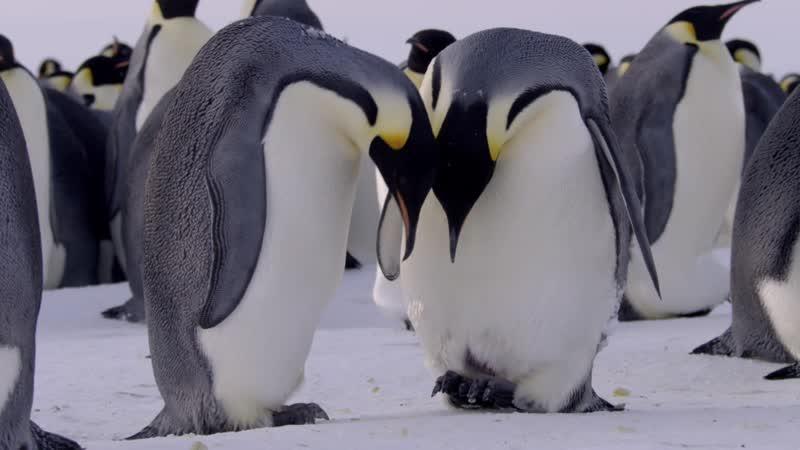 BBC: Династии - Императорские пингвины | 2 серия из 5 | 2018 | HD 1080