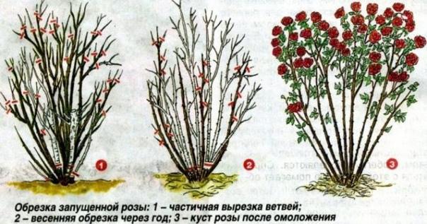 Обрезка роз на зиму без ущерба для растения