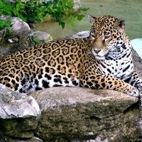 Leopard Photo (23) .