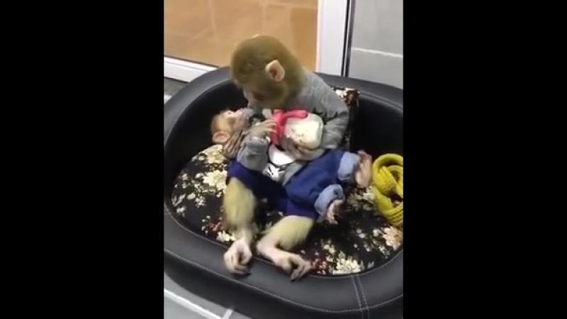 Monkey bottle feeding her baby