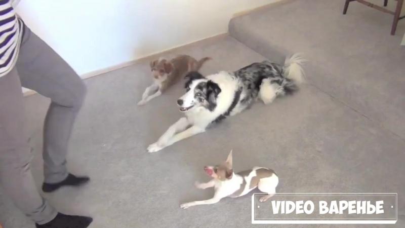 Выступление дрессированых псов (VIDEO ВАРЕНЬЕ)