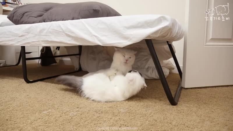 고양이 전쟁의 서막 - 꼬부기 쵸비 서열정리 CAT WAR - THE BEGINNING
