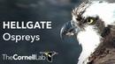 Cornell Lab University of Montana Hellgate Ospreys Dual cam